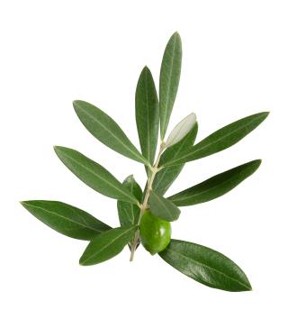 Olive Leaf for Acne