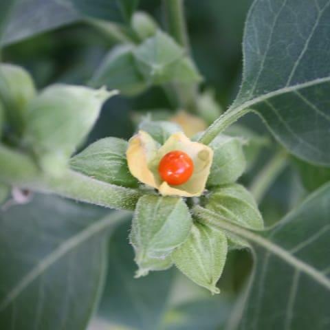 Ashwagandha Ayurvedic Medicines to Increase Height