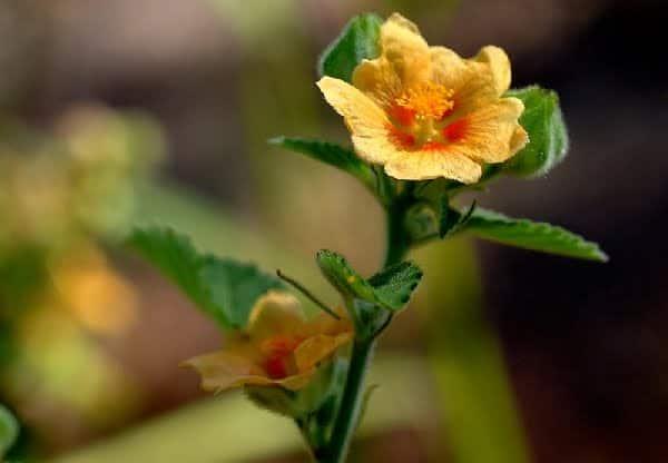 Bala Ayurvedic Medicine to Increase Height