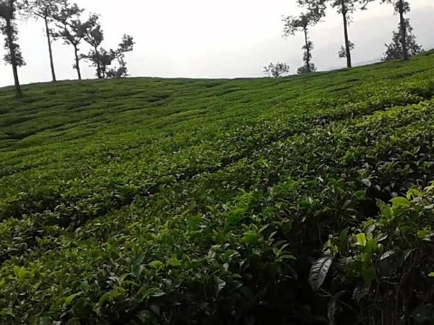 Ripon Tea Factory