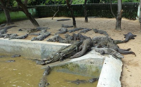 parks-in-coimbatore-amaravati-sagar-crocodile-farm