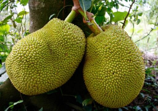Jackfruit During Pregnancy 3