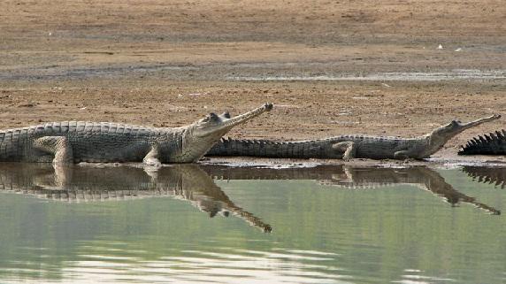 parks-in-madhya-pradesh-ken-gharial-sanctuary