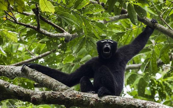 parks-in-meghalaya-hoolock-gibbon-reserve