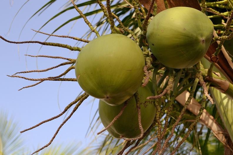Coconut Water Benefits 3