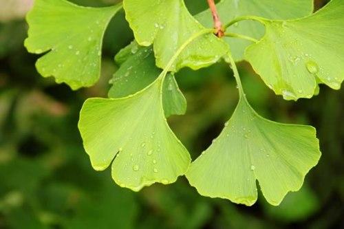 Effective Energy Boosting Herbs 6