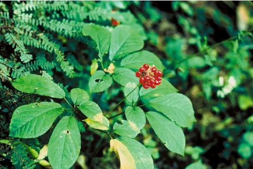 Effective Energy Boosting Herbs 7